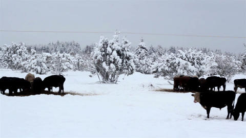 Lots of cows looking for food on snow Footage