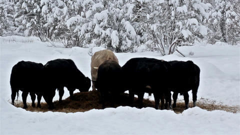 Six cows eating some grass on the snow Footage