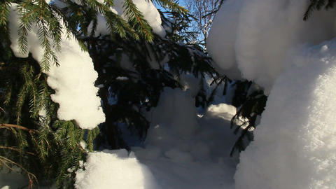 Small spruce pine trees covered with snow Footage