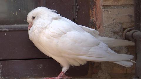 White pegion sleeping Footage