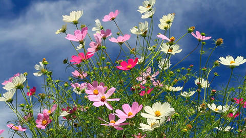 Field of cosmos flowers with cloudy blue sky in th Footage