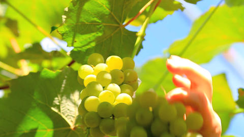 Hand Picking Grapes During Harvest In Japan stock footage
