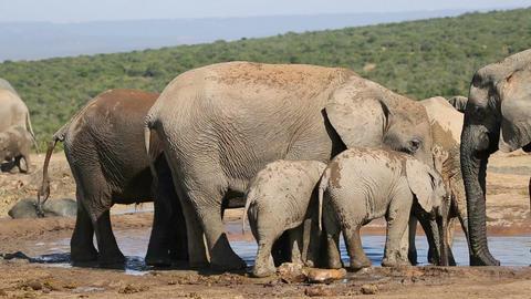 African elephants at waterhole Footage
