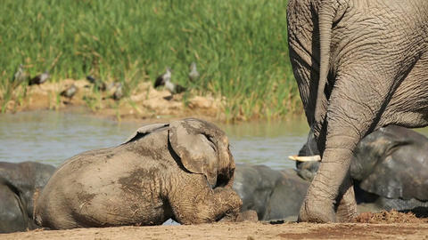 Playful baby African elephant Footage