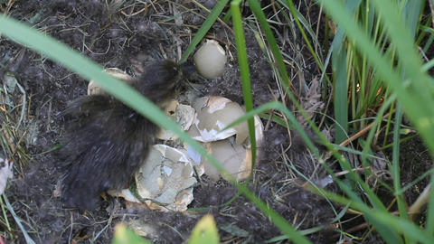 wild duckling recently hatching from egg. colony o Footage