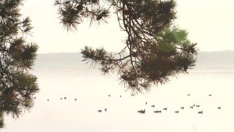 silent quiet sea, seagulls bird, live tree pine Footage