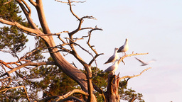 seagull big white on a branch. colony of birds. vo Live Action