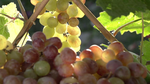 Rich Harvest of Grapes Footage