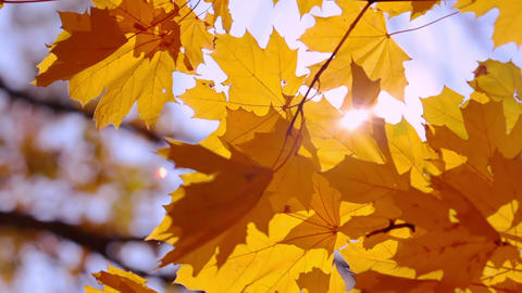 Gold Maple Leaves And Sun stock footage