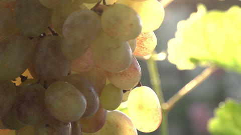 Bunch of Grapes in the Sun Footage