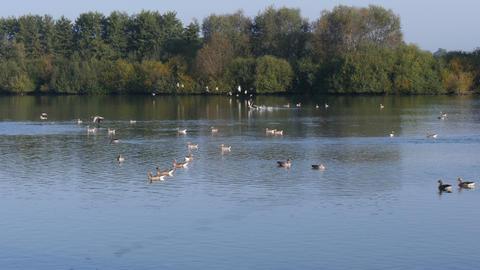 4k Uhd Flock of Greylag geese taking off at lake Footage