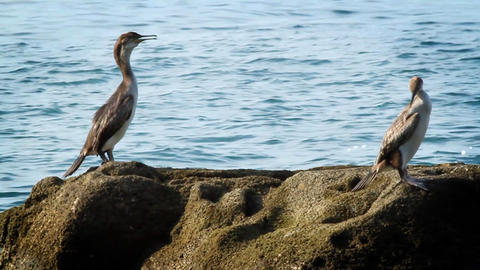 Birds On The Rock stock footage