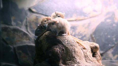 Rodents in zoo Footage
