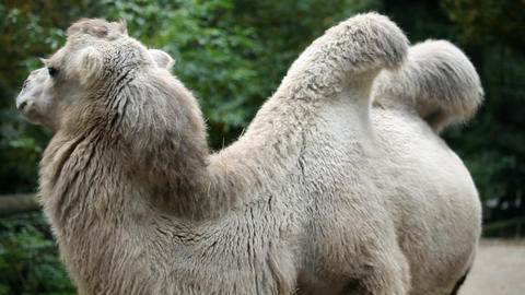 Shy animal camel posing to the camera in captivity Live Action