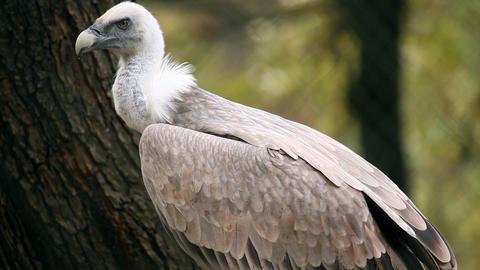 Vulture in zoo looking Footage