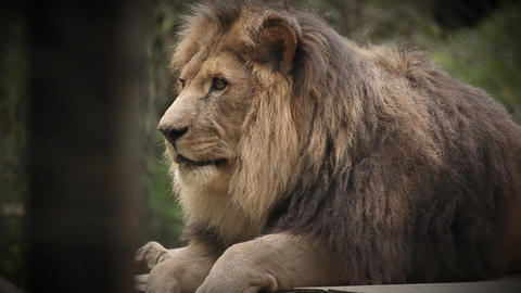 King of animals Lion, resting after great meal in  Footage