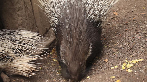 Wild animal in captivity, porcupine searhing for f Footage