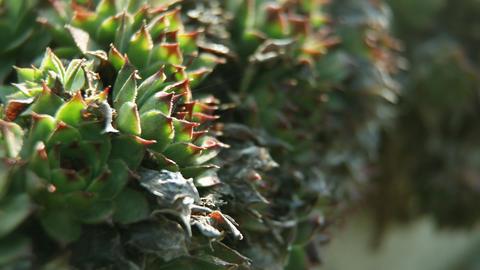 Close up of aloe vera Footage
