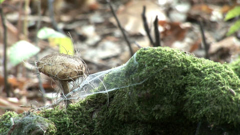 Mushroom covered with spiderweb and spruce needles Footage