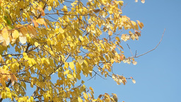 Tree with yellow leaves against the blue sky Footage