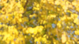 Blurred autumn background Tree with yellow leaves  Footage