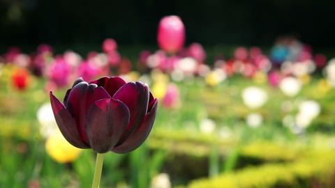 a beautiful tulip blossom Live Action