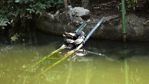 some turtles in the pond seating on peace of iron Live Action