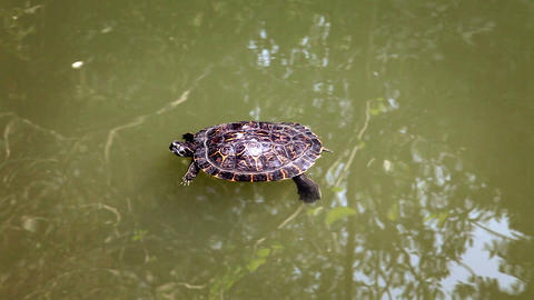 turtle swimming in the pond Live Action