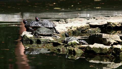 Turtle Walking On The Rock stock footage