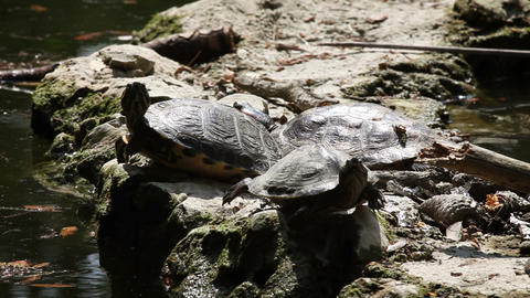 turtle walking on the rock Live Action
