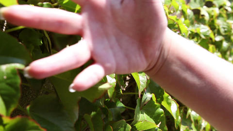 Close up of the hand that touches the leaves Footage