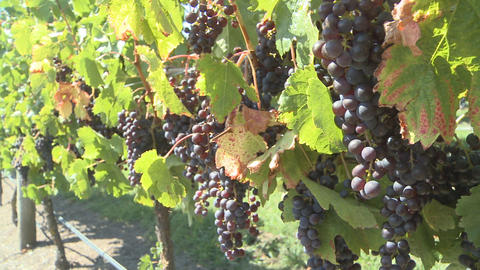 ripe grapes on vines Stock Video Footage