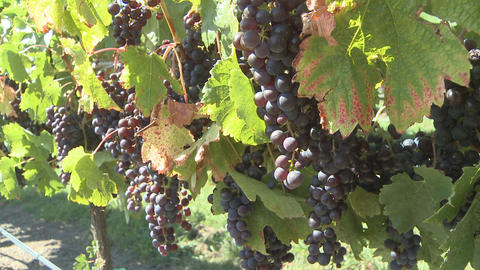 ripe grapes on vines Footage
