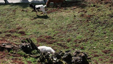 Shot of a few goats on a grass field Footage