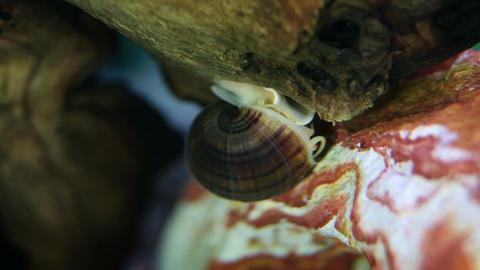sea snail in aquarium close up Live Action