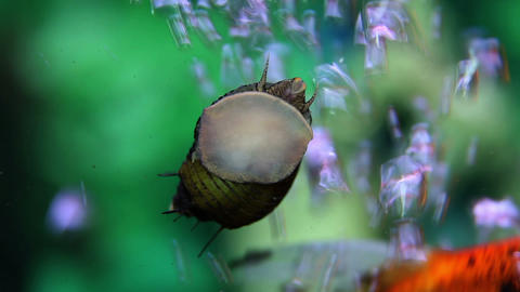 Close up shot of a sea snail in aquarium Live Action