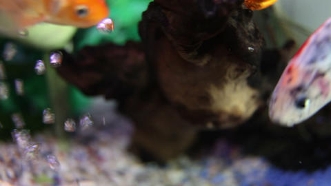 Close up shot of snail and fishes in the fish tank Live Action