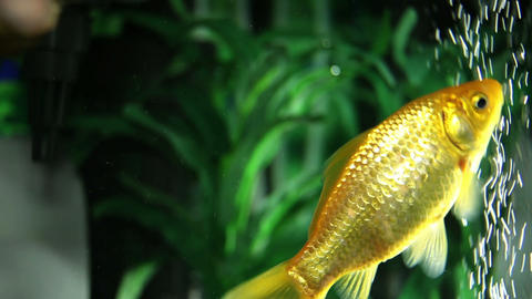 Close up shot of a gold fishes in a fish tank Live Action
