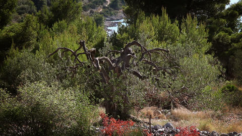 Shot of an old olive tree near the shore of Split Footage