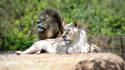 Lion and lioness lying and watching Footage