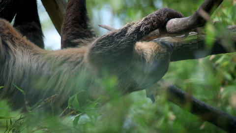 Sloth slowly climibng on tree branches Footage