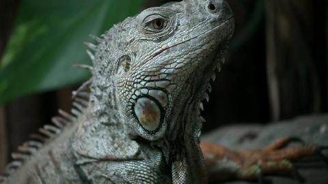 Iguana looking around Live Action