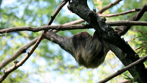 Monkey hanging from tree branches Live Action