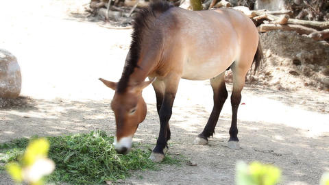 Horse Eating Grass stock footage