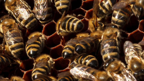bees build honeycombs Footage