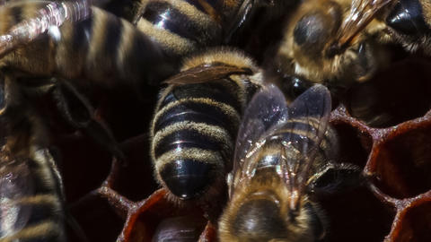 Bees Build Honeycombs stock footage