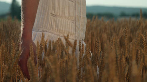 a woman's hand touching wheat grains and walknig Footage