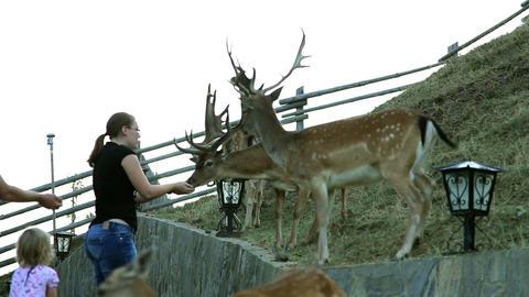 Young woman feeding deers Footage