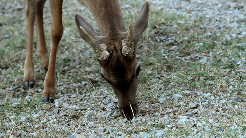 Deers eating from young woman's hand Footage