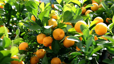 Tangerines On Tree stock footage